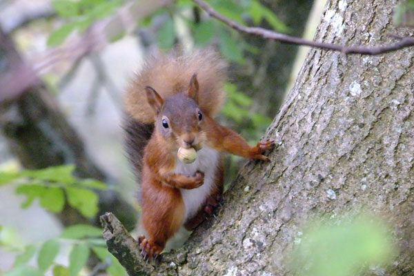 Red Squirrel in Wildzone Cumbria