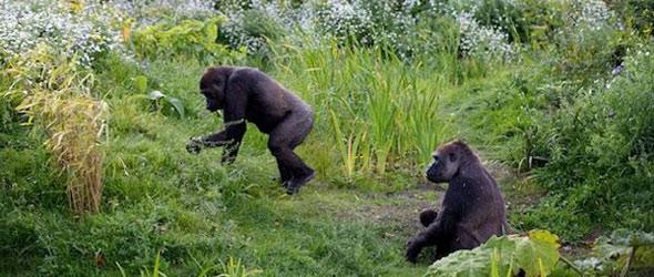 The Gorilla Rainforest - Dublin Zoo