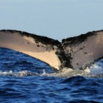 Whale Watching In Samana